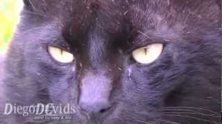 Black Cat ♂ Yellow Eyes on Street (Felidae) - Gato preto Florianópolis Brasil