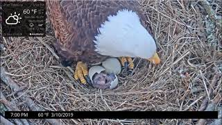 Hatch - Chick Emerges from Shell - Welcome Lil One - Port Tobacco Bald Eagles - March 10, 2019