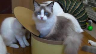 猫缶に入る猫