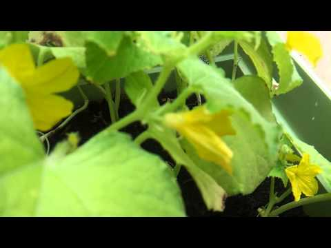 , title : 'Difference Between Male/Female Squash and Cucumber Flowers