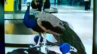 Peacock prompts United to change emotional support animal policy