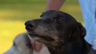 After Florida Voted To Ban Dog Racing, What's Next For The Greyhounds? | NBC Nightly News