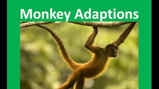 Monkeys Adaptations to their habitat - for kids