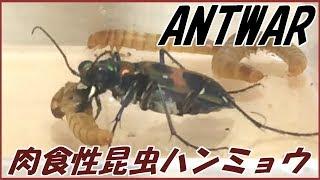 """蟻戦争Ⅱ#45アリの天敵""""ハンミョウ""""とは?&ジガバチとかいう奇妙な蜂。編~theenemyofant""""tigerbeetle""""~"""