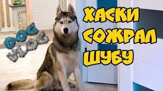 DOGVLOG: ХАСКИ СОЖРАЛ ШУБУ! Говорящая собака