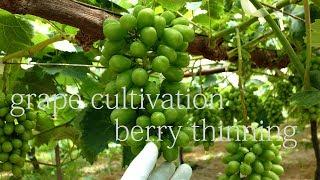 袋掛け前最終摘粒 Grape Cultivation (berry Thinning Final)