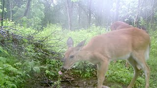 Deer Talk Now: Where to Place Mineral Sites for Deer