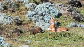 The Ethiopian Wolf Project Documentary