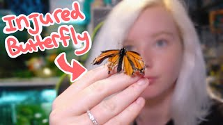 Caring For an Injured Butterfly