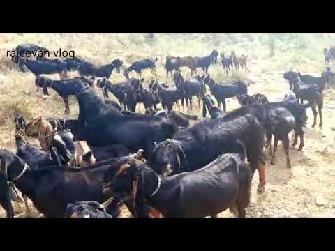 , title : 'goats kotta /karoli