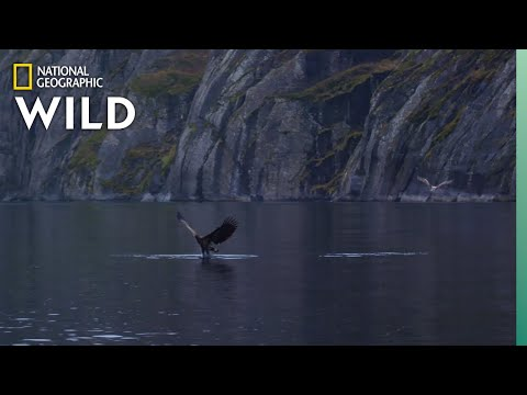 White-Tailed Eagles Fight Over Fish | Wild Nordic