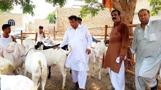 goats for sale in rawalpindi islamabad olx - Kênh video giải