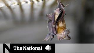 Bats likely spread coronavirus, but don't get sick