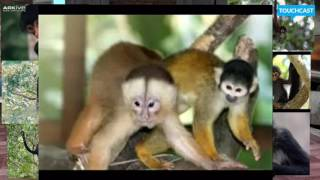 Endangered Animals - BLACK SPIDER MONKEY