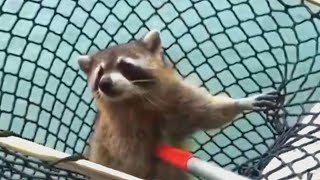 Florida Police Struggle to 'Arrest' Trespassing Raccoon