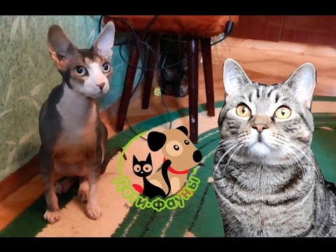 Сфинкс. Чем болеют лысые кошки?