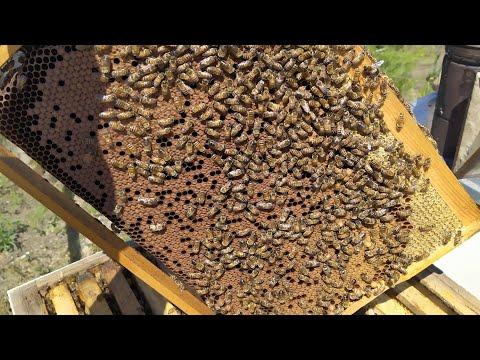 Майский взяток и развитие пчелиных семей
