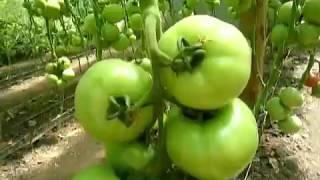 Подкормка при массовом наливе помидоров видео