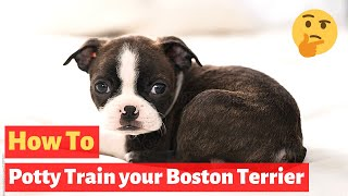 How To Potty Train A Boston Terrier Puppy? Easy Yet Effective Working Technique