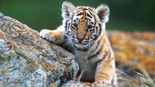 Bengal Tiger Endangered Species Commercial