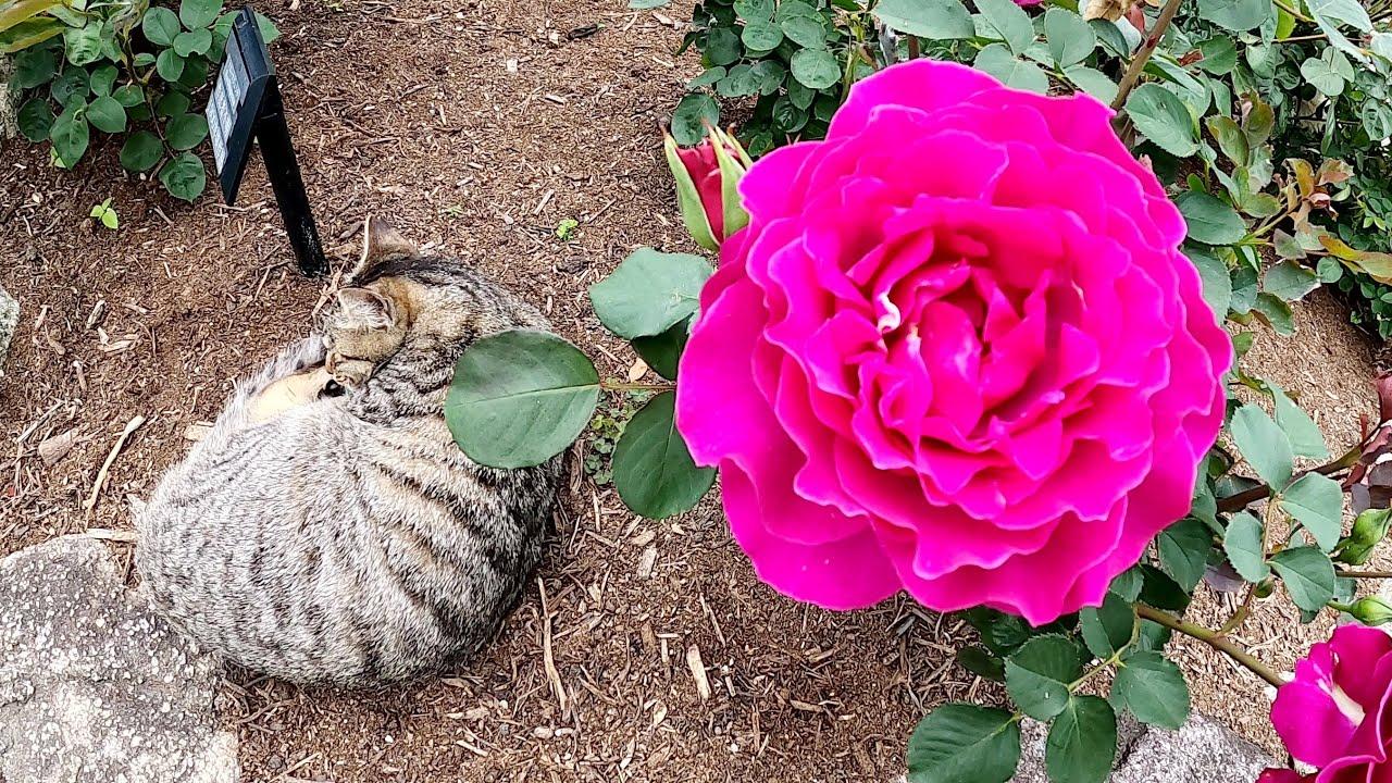 バラの花壇で擬態?を使うキジトラ猫、堂々と爆睡する茶シロ猫www
