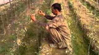 Tomato Tunnel Farming in Pakistan by Sajid Iqbal Sandhu 03218669044.mp4