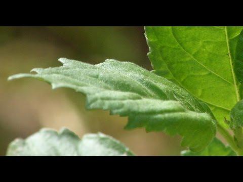 Varikozno la varice dans le nez