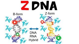 Z DNA