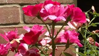 How To Use Roses In Landscape Plans : Landscaping Ideas