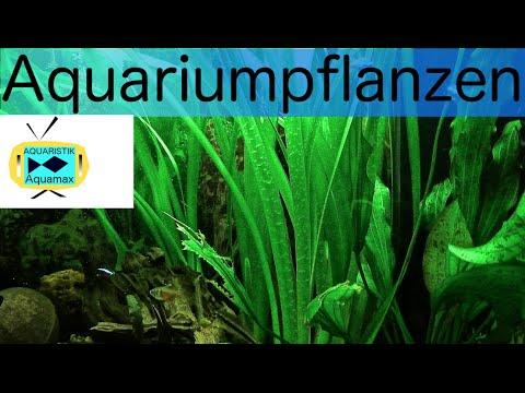 Aquarienpflanzen ohne Ansprüche / #15