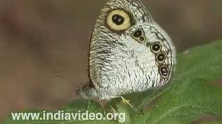 Common Five Ring or Ypthima baldus