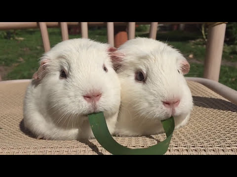 Two Guinea pigs and one blade of grass