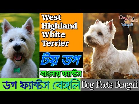 West Highland White Terrier facts in Bengali | Toy Dog | Westy Dog | Dog Facts Bengali