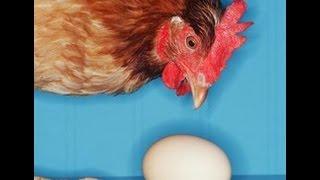 Что надо давать курам чтобы они не клевали яйца