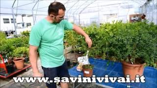 Scopri la Pianta del  Finger Lime Con I Frutti presso Savini Vivai Cotignola