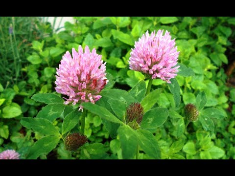 Video Red Clover Benefits