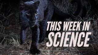Cure for cervical cancer, black leopard sighting & Mars One goes bankrupt – This Week in Science