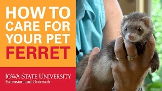 How to Care for Your Pet Ferret