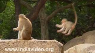 Monkey's at Mahabalipuram