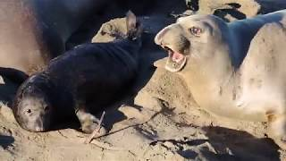 Elephant seal pups and their protective moms