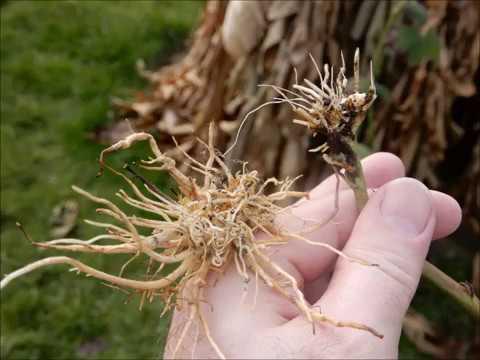 Vermehrung durch Absenker: Beispiel  Brombeere und japanische Weinbeere