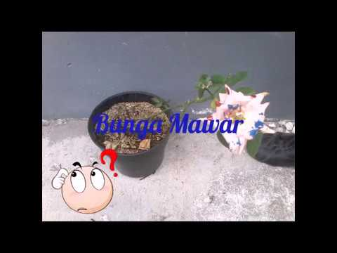 Video Cara Menanam Bunga Mawar