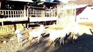 preview picture of video 'kambing Senduro Pontianak,wa+60164629093'