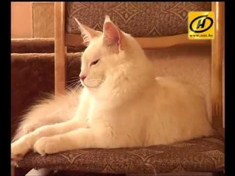 Мэйн кун - кот великан, советы по уходу