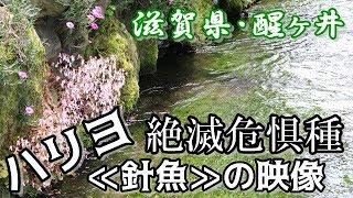 絶滅危惧種ハリヨ『針魚』の映像滋賀県・醒ヶ井