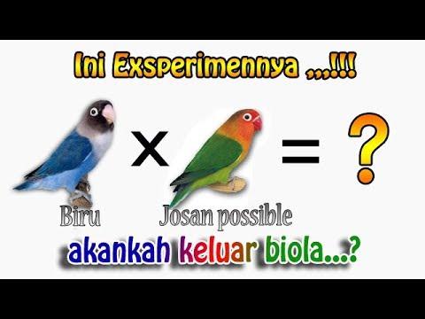 mp4 Lovebird Biola Dari Indukan Apa, download Lovebird Biola Dari Indukan Apa video klip Lovebird Biola Dari Indukan Apa
