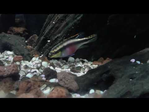 Avannotti pelvicachromis pulcher 4.