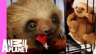 Its Bath Time For These Baby Sloths   Too Cute