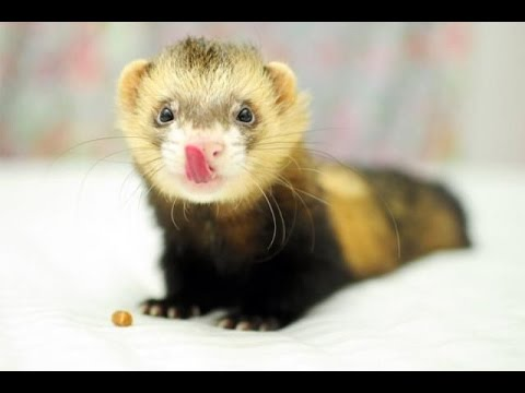 , title : 'BABY FERRETS-ohhh how I'm cute and cuddly.
