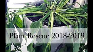 Plant Rescue: Peace Lily Transformation